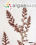 Polysiphonia glomerulata (C.Agardh) Sprengel