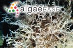 Trichogloeopsis hawaiiana I.A.Abbott & Doty