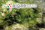 Fistularia compressa (Linnaeus) Greville