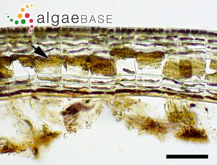 Ectocarpus padinae (Buffham) Sauvageau