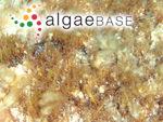 Rytiphlaea tinctoria (Clemente) C.Agardh