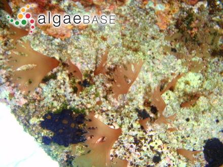 Ascophyllum mackayi f. robertsonii Batters