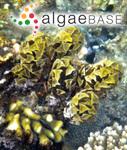 Turbinaria vulgaris var. triquetra J.Agardh