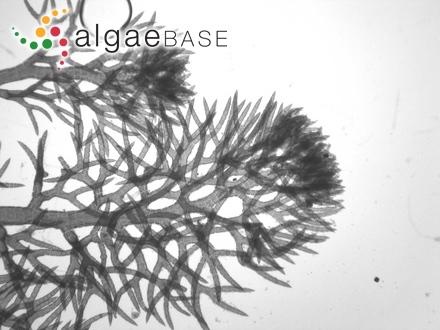 Monosporus gracilis (Harvey) J.Agardh