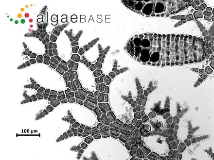 Neomonospora gracilis (Harvey) V.May