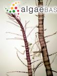 Spyridia filamentosa (Wulfen) Harvey