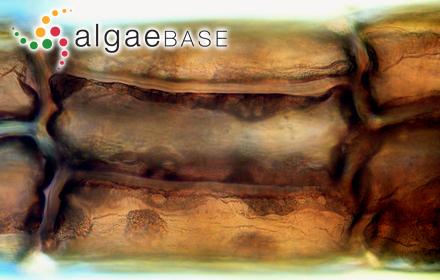 Polysiphonia badia (Dillwyn) Sprengel