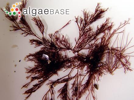 Fucus pinnatifidus var. osmunda (S.G.Gmelin) Turner