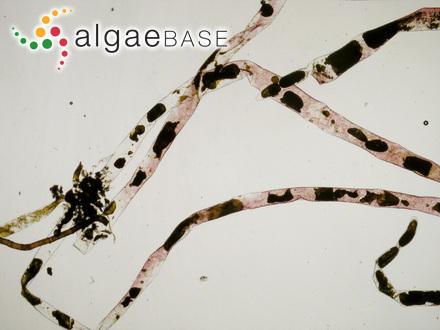 Liagora haitanensis C.K.Tseng & Li