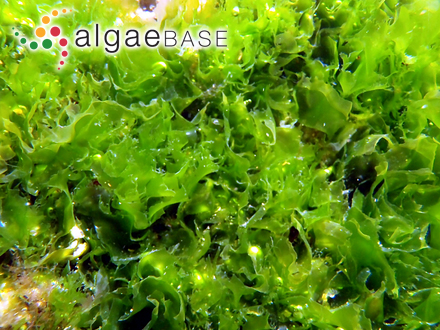 Lithophyllum moluccense (Foslie) Foslie