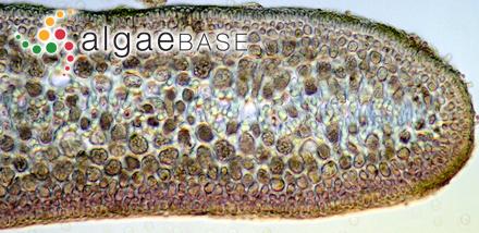 Chondria hapteroclada C.K.Tseng