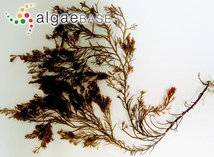 Laurencia tristicha C.K.Tseng, C.F.Chang, E.Z.Xia & B.M.Xia