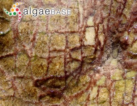 Pelvetia siliquosa C.K.Tseng & C.F.Chang