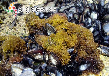 Sargassum fusiforme (Harvey) Setchell