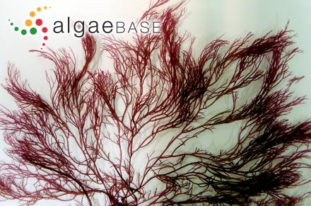 Sargassum graminifolium C.Agardh