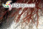 Sphaerococcus dasyphyllus (Woodward) Stackhouse