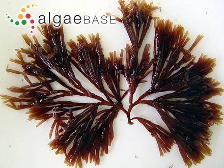 Codium papillatum var. hainanense C.K.Tseng