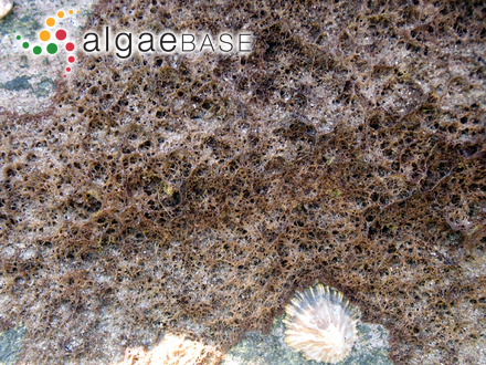 Cladophora coacta Dickie