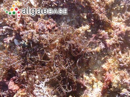 Caulerpa lycopodium J.Agardh