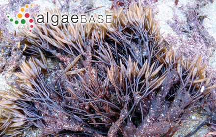 Acrochaetium papenfussii I.A.Abbott