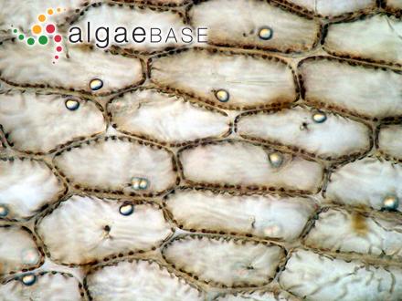 Acrochaetium sinicola (E.Y.Dawson) Papenfuss