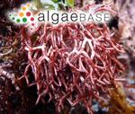 Liagora viscida (Forsskål) C.Agardh