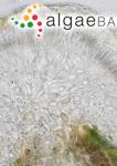 Gelidiocolax margaritoides (M.T.Martin & Pocock) K.-C.Fan & Papenfuss