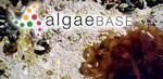 Halymenia lanceola J.Agardh