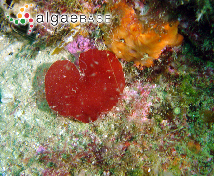 Chromastrum humile (Rosenvinge) Papenfuss