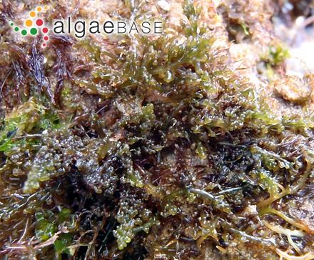 Porphyra vulgaris C.Agardh