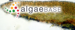Ralfsia verrucosa (Areschoug) Areschoug