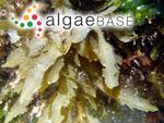 Sargassum flavifolium Kützing