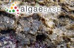 Sphacelaria rigida Hering