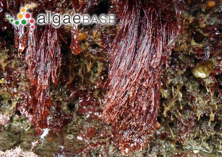 Fucus lichenoides Turner