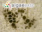 Asperococcus bullosus J.V.Lamouroux