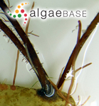 Scytosiphon filum (Linaeus) C.Agardh