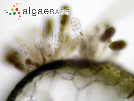 Enteromorpha compressa var. minima (Nägeli ex Hauck) Hamel