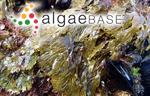 Haliseris dichotoma (Hudson) Sprengel