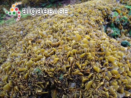 Botryocladia uvarioides E.Y.Dawson