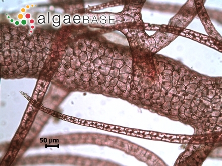 Bangia versicolor Kützing