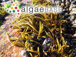 Brassicophycus brassicaeformis (Kützing) Draisma, Ballesteros, F.Rousseau & T.Thibaut