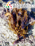 Laminaria radiata C.Agardh