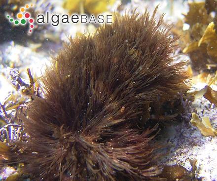 Fucus vesiculosus f. plicatus Kjellman