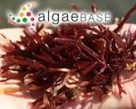 Gracilaria fergusonii J.Agardh