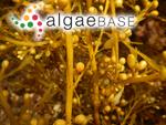 Sargassum kjellmanianum f. muticum Yendo
