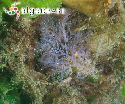 Pinnularia carlsonii A.Cleve