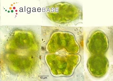 Luticola plausibilis (Hustedt) D.G.Mann