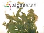 Ulvella cladophorae (Hornby) A.C.Mathieson & Dawes