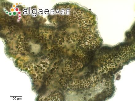 Navicula cymbula Donkin