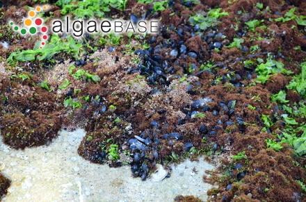 Navicula phyllepta Kützing